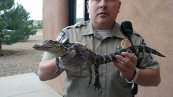 Animal Services Officer and Alligator