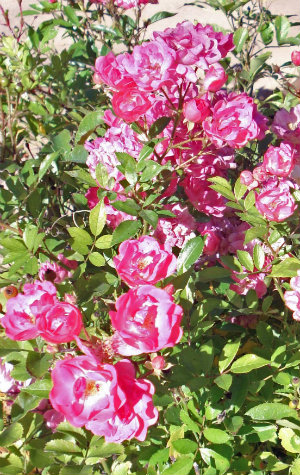 Photo of wild roses at Harvey Cornell Rose Park