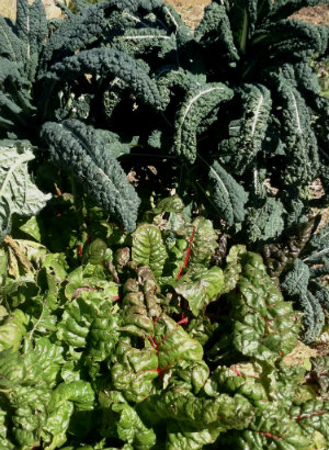 Photo of kale growing at Sunny Slope Meadows Community Garden